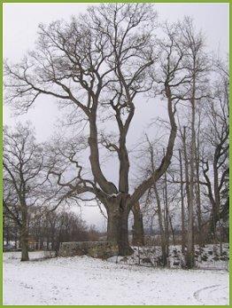 Bezděkovský dub